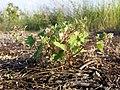 Geranium rotundifolium sl29.jpg