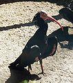 Geronticus eremita - Waldrapp - Northern Bald Ibis.jpg