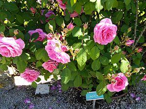 Gertrude Jekyll rose.jpg