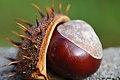Gewöhnliche Rosskastanie, Aesculus hippocastanum 07.JPG