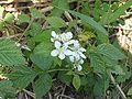 Gewone braam (Rubus fruticosus.jpg