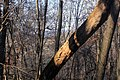 Gfp-iowa-bellevue-state-park-falling-tree.jpg