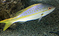 Gfp-yellowtail-snapper.jpg