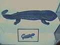 GiantJapaneseSalamander.JPG