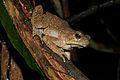 Giant Asian Toad (Phrynoidis aspera) (8688768164).jpg