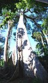 Giant Lupuna tree vertical panorama.jpg
