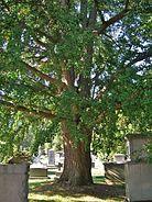 Ginkgo Tree, Green-Wood Cemetery, Brooklyn, NY - September 19, 2015