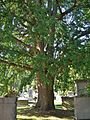 Ginkgo Tree, Green-Wood Cemetery, Brooklyn, NY - September 19, 2015.jpg