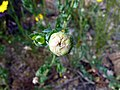 Glebionis segetum inflorescence (06).jpg