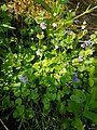 Glechoma hederacea 108891550.jpg