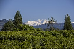 Glimpse of Mount Kanchenjunga with beautiful tea garden at front (By Saroj Pandey).jpg