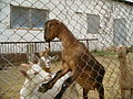 Goats Enjoying Themselves in Armenia.JPG