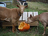 Golden Guernsey goats eat pumpkin.jpg