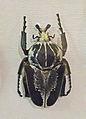Goliathus regius-Musée d'histoire naturelle et d'ethnographie de Colmar.jpg