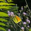 Gonepteryx cleopatra-Citron de Provence-20150609.jpg
