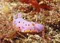 Goniobranchus loringi (2016).jpg