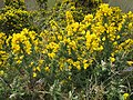 Gorse was blooming here - panoramio.jpg