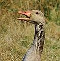 Grågås Greylag Goose (13642259394).jpg