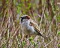Gråsparv House Sparrow (20342624382).jpg