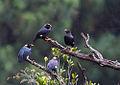 Gracula ptilogenys Knuckles Reserve, Sri Lanka 2.jpg