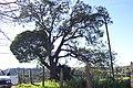 "Gran arbol nativo ""LITRE"" - panoramio.jpg"