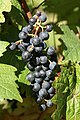 Grapes at Denbies Vineyard, Dorking, Surrey - geograph.org.uk - 1503187.jpg