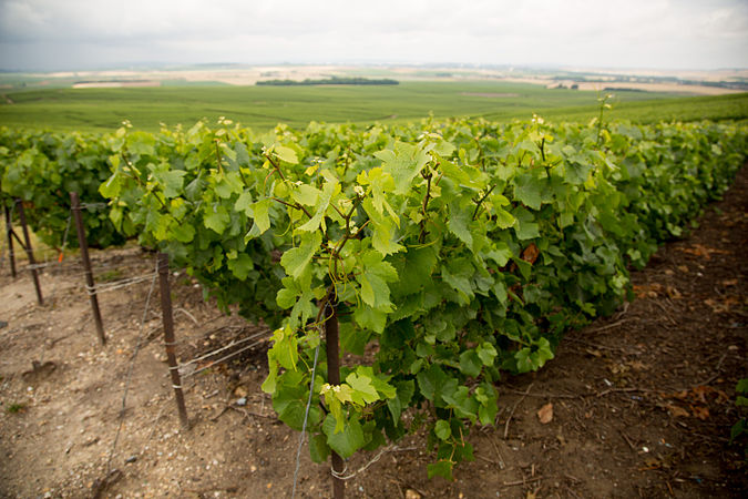 Grapevines in Rural France.jpg