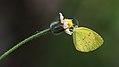 Grass Yellow butterfly.jpg