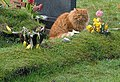Graveside cat - geograph.org.uk - 724491.jpg