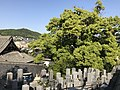 Graveyards and camphor tree in Tenneiji Temple.jpg