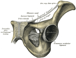Pubic symphysis Cartilaginous joint that sits between and joins the left and right superior rami of the pubic bones