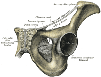 Obturator foramen - Symphysis pubis exposed by a coronal section. Obturator canal labelled at center.