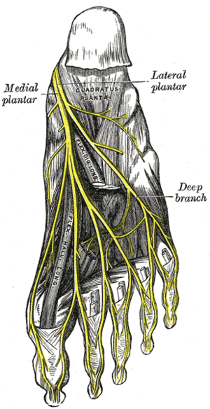 The plantar nerves.
