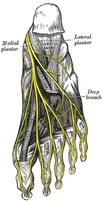 Lateral plantar nerve - The plantar nerves.