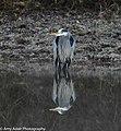 Great Blue Heron in Pond in Central Arkansas.jpg