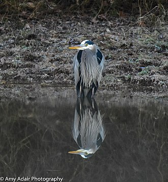 Great blue heron - Image: Great Blue Heron in Pond in Central Arkansas