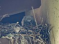 Great Horned Owl (27141230398).jpg