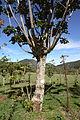 Great Kisakadee Pitangus sulphuratus nest2.JPG