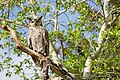 Great horned owl (15138774802).jpg