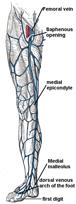 great saphenous vein - wikipedia, Cephalic Vein