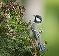 Great tit (41069714165).jpg
