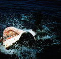 Great white shark at his back12.jpg