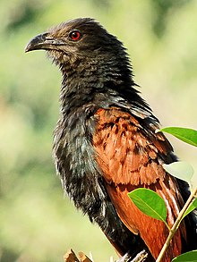 Greater Coucal (Centropus sinensis) Photograph By Shantanu Kuveskar.jpg