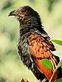 Greater Coucal (Centropus sinensis) Photograph By Shantanu Kuveskar.jpg