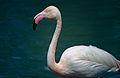 Greater Flamingo (Phoenicopterus roseus) (14921436216).jpg