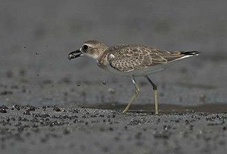 Greater Sand Plover (15089745197).jpg