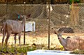 Greater kudu at Giza Zoo by Hatem Moushir 63.JPG