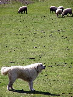 Ejemplar vigilando ovejas en un pasto
