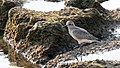 Grey Plover first-winter, Israel (15625974578).jpg
