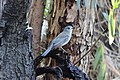 Grey Shrike-thrush (Colluricincla harmonica) at Bolin Bolin Billabong.jpg